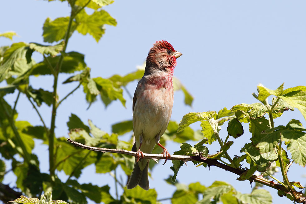 Roodmus, Common Rosefinch